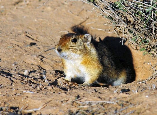 Rat des sables (Psammomys obesus) ©Michel AYMERICH