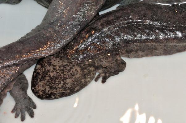 Salamandre géante de Chine  (Andrias davidianus) ©Michel AYMERICH