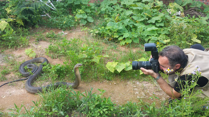Cobra royal (Ophiophagus hannah). Venomous! Guangxi, juin 2017 ©Michel AYMERICH