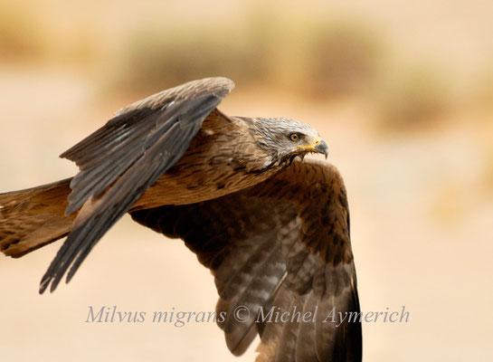 Milan noir (Milvus migrans) avant Aoussard @Michel AYMERICH