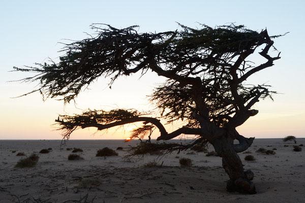 Acacia à la tombée du jour © Michel Aymerich