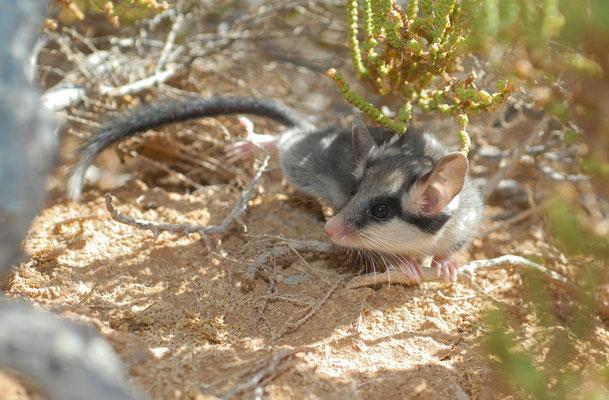 Lérot d'Afrique du Nord (Eliomys munbyanus). Oued Drâa, nord de Tantan ©Michel AYMERICH
