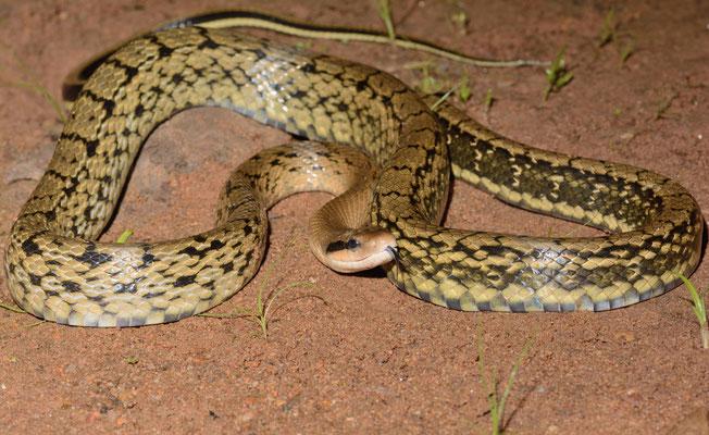 Serpent-Ratier (Orthriophis taeniurus). Non-venomous! Juillet 2016 ©Michel AYMERICH