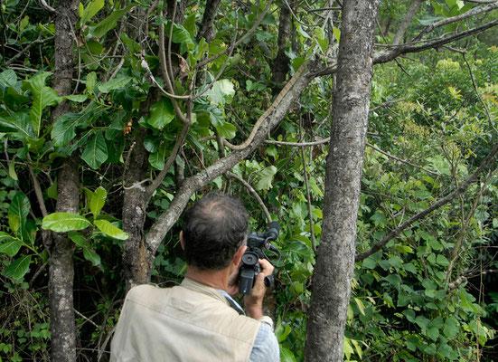 Le Boïga de Blanding s'empressant de s'élever dans les arbres qui sont sa protection...