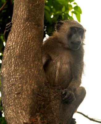 babouin de Guinée, Papio papio ©Michel Aymerich