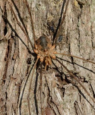 Opilion (pas une araignée!) ou Faucheux (Phalangium opilio),  Montpellier (Hérault) ©Michel AYMERICH