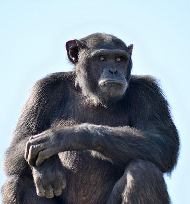 Le même chimpanzé, semblant frustré... © Michel AYMERICH