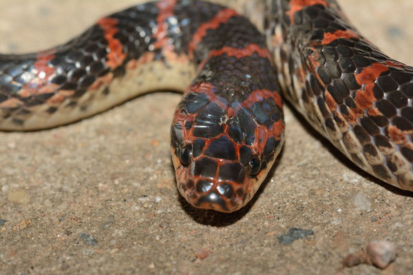 Red-banded Snake (Dinodon rufozonatum). Province de ANHUI  ©Michel AYMERICH
