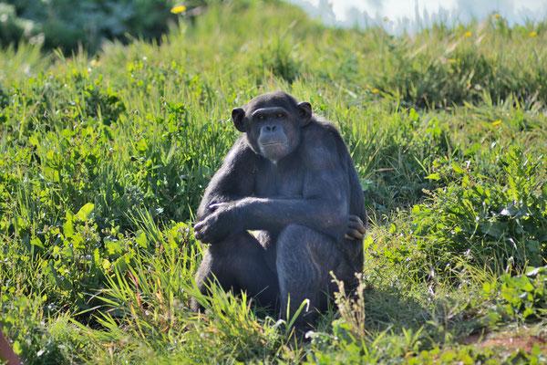 Un autre chimpanzé © Michel AYMERICH