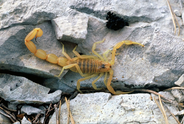 Scorpion languedocien (Bhutus occitanus), Hérault ©Michel AYMERICH