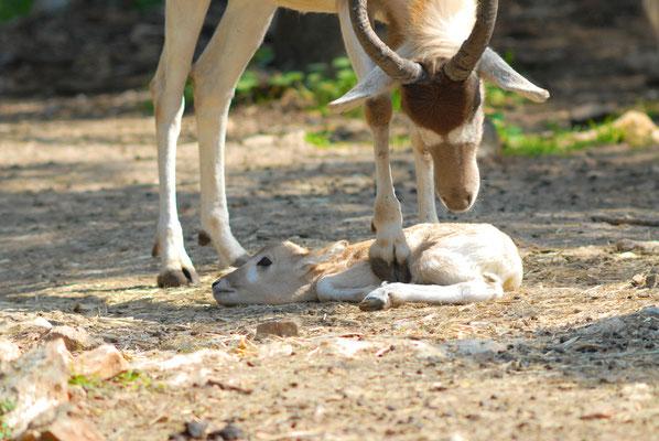 Un Addax (Addax nasomaculatus) est né. Parc zoologique de Lunaret à Montpellier©Michel AYMERICH