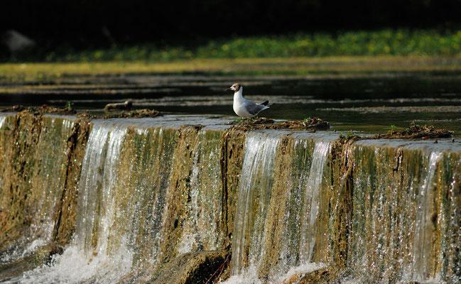 Mouette rieuse (Chroicocephalus ridibundus), rives du Lez, Lattes (Hérault) ©Michel AYMERICH