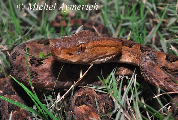 Vipère, Trimeresurus  mucrosquamatus ©Michel AYMERICH