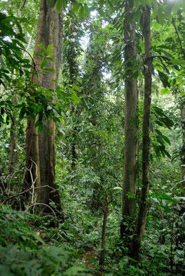 Sous bois sur une piste menant à Nzérékoré en Guinée forestière © Michel Aymerich