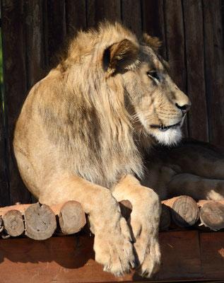 Lion de l'Atlas (Panthera leo leo). Parc zoologique de Rabat ©Michel AYMERICH