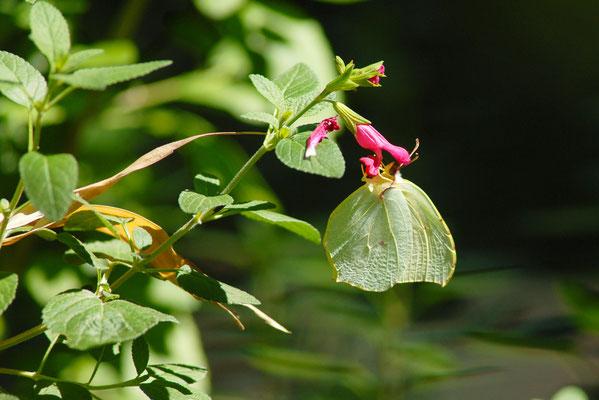 Citron (Gonepteryx rhamni) femelle, Montpellier (Hérault) ©Michel AYMERICH
