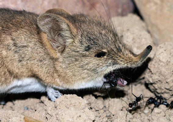 Macroscélide de Rozet (Elephantulus rozeti) mangeant une fourmi... Entre Aït Semgane et Agdz ©Michel AYMERICH