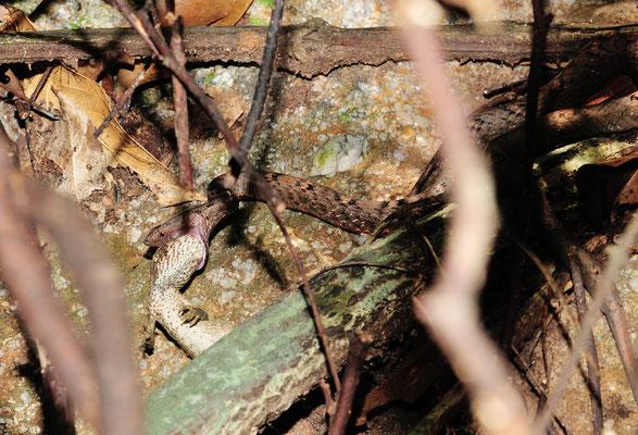 La Mock Viper 紫沙蛇 (Psammodynastes pulverulentus), en train d'ingurgiter le lézard. Guangxi, juin 2017 ©Michel AYMERICH