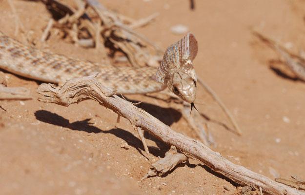 couleuvre de Moila (Rhagerhis moilensis) classée dans le passé dans le genre Malpolon. ©Michel AYMERICH