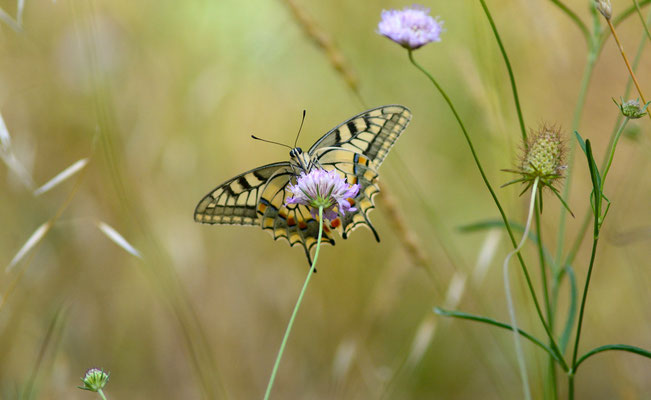 Machaon ou Grand porte-queue (Papilio machaon), Montpellier (Hérault) ©Michel AYMERICH