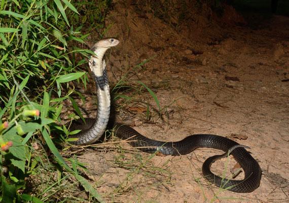Cobra chinois (Naja atra). Venomous! Juillet 2016 ©Michel AYMERICH