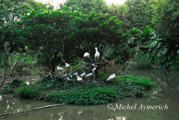 白琵鹭 Spatules blanches (Platalea leucorodia). Guanzhou, Chine 2012 ©AYMERICH Michel