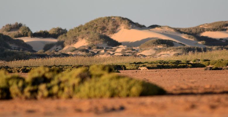 Chacal (Canis anthus) sur la sebkha d'Imlili, Sahara. Sahara atlantique ©Michel AYMERICH