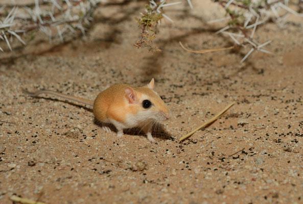 Petite gerbille du Sahara? (Gerbillus gerbillus?). Sahara atlantique. Région d'Aousserd ©Michel AYMERICH