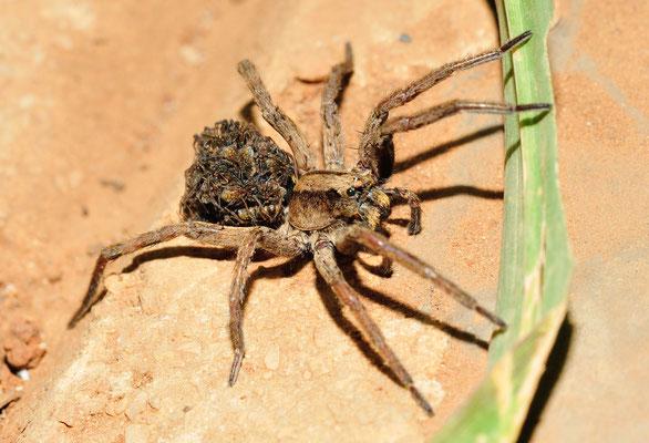Araignée de la famille des Lycosidae. Province du Guangxi, Chine 2017 ©AYMERICH Michel