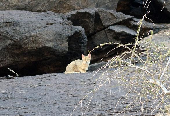 Chat ganté (Felis lybica), massif de Derahman (région d'Aousserd). Sahara atlantique ©Michel AYMERICH