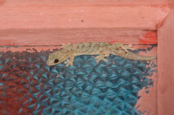 Gecko à Mangshan près de Chenzhou (HUNAN) ©Michel AYMERICH