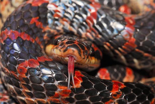 Red-banded Snake (Dinodon rufozonatum). No poisonous! Juillet 2016  ©Michel AYMERICH