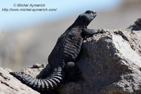Fouette-queue (Uromastyx dispar).