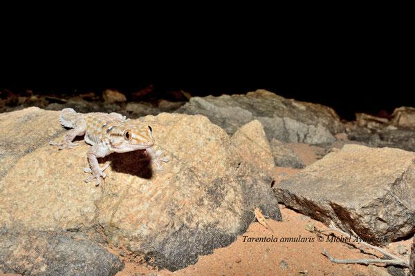 Tarente annelée en maraude. Un criquet se trouve sur sa gauche © Michel Aymerich