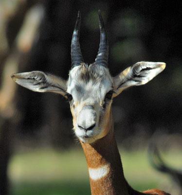 Gazelle dama (Gazella dama). Parc zoologique de Lunaret à Montpellier ©Michel AYMERICH