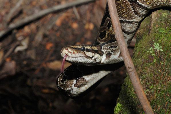 Python royal, Python regius © Michel Aymerich