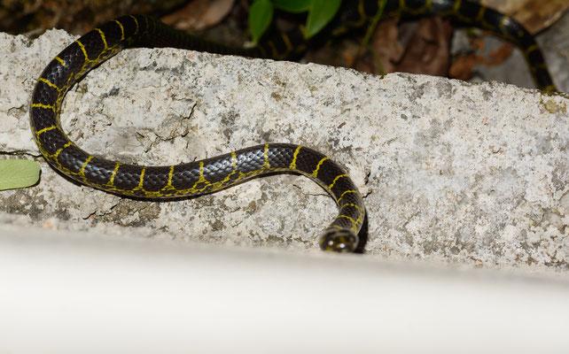 Lycodon flavozonatus. Non-venomous! Juillet 2016 ©Michel AYMERICH