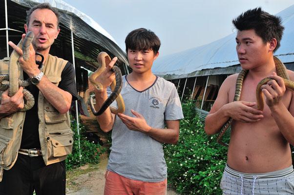 眼镜王蛇. Cobras royaux (Ophiophagus hannah) dans une ferme d'élevage. Sud de Nanning. Guangxi, Chine 2017 ©AYMERICH Michel