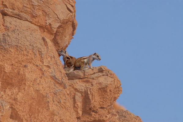 Écureuils de Barbarie (Atlantoxerus getulus). Près de Figuig ©Michel AYMERICH