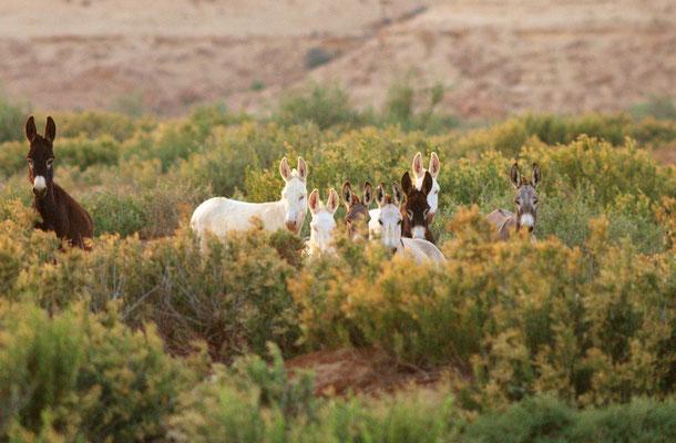 Ânes ensauvagés (Equus asinus) au Sahara (Seguiet el Hamra) ©Michel AYMERICH
