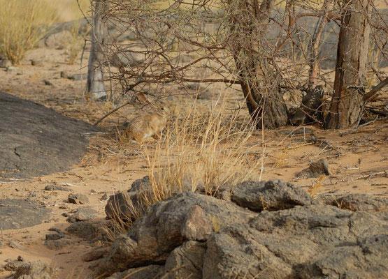 Lièvre du Cap (Lepus capensis) ©Michel AYMERICH