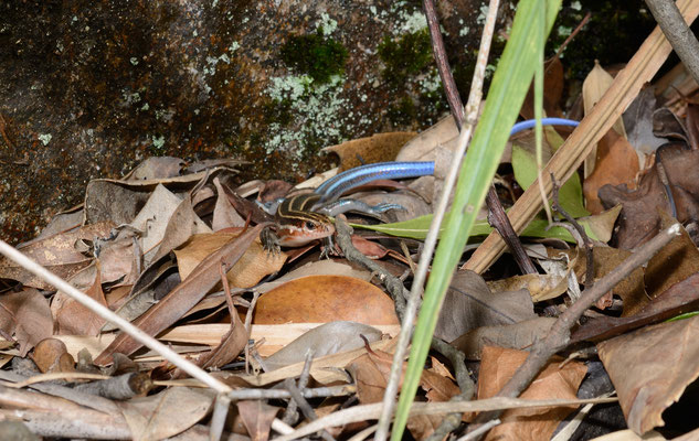 Five-striped Blue-tailed Skink (Plestiodon elegans). Réserve naturelle de Mangshan près de Chenzhou (HUNAN) ©Michel AYMERICH