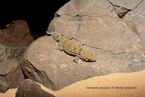 Tarente annelée, un gecko nocturne assez abondant dans les milieux rocheux © Michel Aymerich