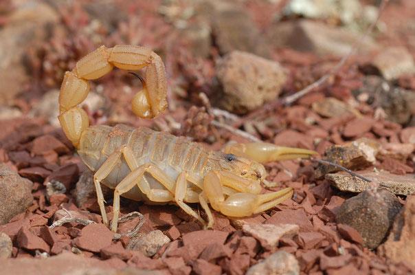 Scorpion languedocien (Bhutus occitanus), Lac du Salagou (Hérault) ©Michel AYMERICH