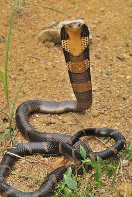 Cobra royal (Ophiophagus hannah). Venomous! Octobre 2012 ©Michel AYMERICH