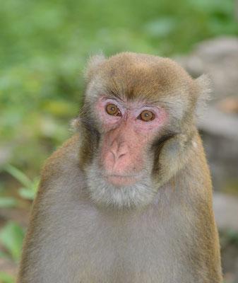 Macaque d'Assam ? (Macaca assamensis?) ©Michel AYMERICH