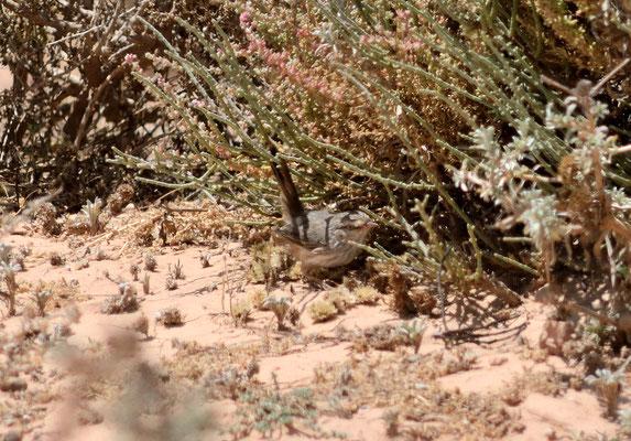 Dromoïque du désert (Scotocerca inquieta) ©Michel AYMERICH