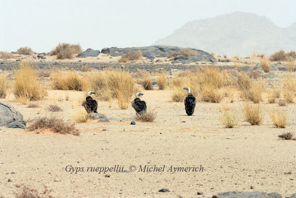 Vautours de Rüppel (Gyps ruepellii) avant Aoussard @Michel AYMERICH