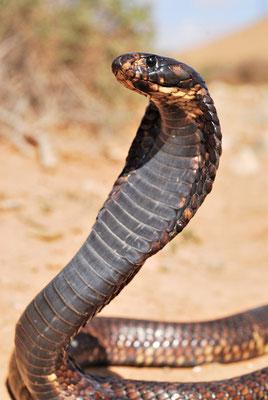 Cobra d'Afrique du Nord (Naja haje legionis), près de Tantan @Michel AYMERICH