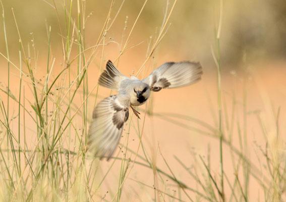 Moineau blanc mâle © Michel Aymerich